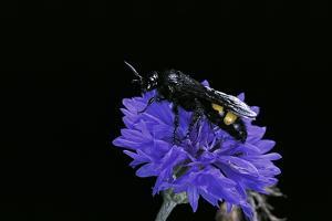 Scolia Hirta (Scoliid Wasp) by Paul Starosta