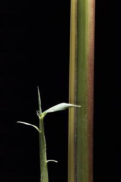 Semiarundinaria Yashadake F. Kimmei (Kimmei Bamboo) - Young Culm by Paul Starosta