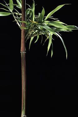 Semiarundinaria Yashadake F. Kimmei (Kimmei Bamboo) by Paul Starosta