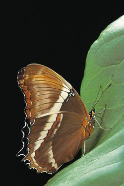 Siproeta Epaphus (Rusty-Tipped Page, Brown Siproeta) by Paul Starosta