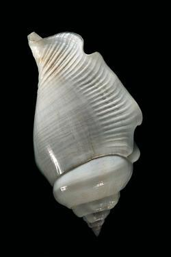 Strombus Gibberulus Albus by Paul Starosta