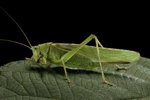 Tettigonia Viridissima (Great Green Bush-Cricket) - Female by Paul Starosta