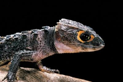 Tribolonotus Gracilis (Bush Crocodile, Red-Eyed Crocodile Skink, Orangeaugen-Helmskink) by Paul Starosta