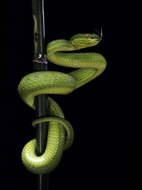 Trimeresurus Albolabris (White-Lipped Tree Viper) by Paul Starosta