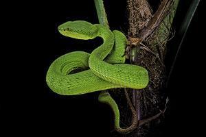 Trimeresurus Albolabris (White-Lipped Tree Viper) by Paul Starosta