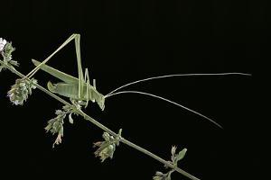 Tylopsis Lilifolia (Lily Bush-Cricket) by Paul Starosta