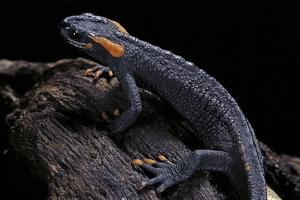 Tylototriton Taliangensis (Taliang Knobby Newt) by Paul Starosta
