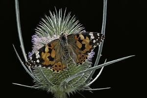 Vanessa Cardui (Painted Lady Butterfly) by Paul Starosta