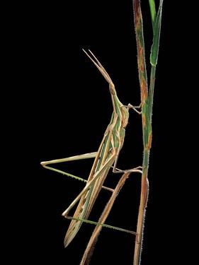 Xenotruxalis Fenestrata (Short-Horned Grasshopper) by Paul Starosta