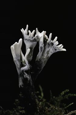 Xylaria Hypoxylon (Stag's Horn Fungus, Candlestick Fungus, Candlesnuff Fungus, Carbon Antlers) by Paul Starosta