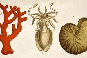 1750 Coral Squid & Nautilus Colour Print by Paul Stewart