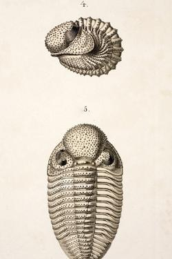 1846 Victorian Trilobite Litho Phacops by Paul Stewart