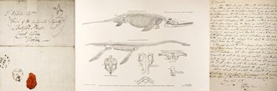 Conybeare Plesiosaurus Reconstruction. by Paul Stewart