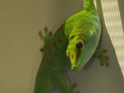 A Captive Madagascar Giant Day Gecko, Phelsuma Madagascariensis by Paul Sutherland