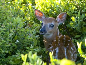 A Day-Old White-Tailed Deer, Odocoileus Virginianus, Hiding in Shrubs by Paul Sutherland