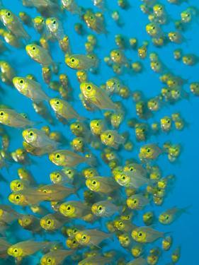 A School of Golden Sweeper Fish, Parapriacanthus Ransonneti by Paul Sutherland