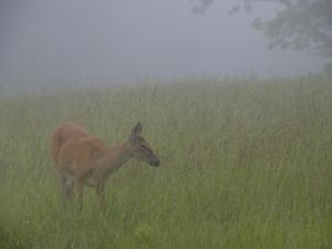 A White-Tailed Deer Doe, Odocoileus Virginianus, Foraging in the Mist by Paul Sutherland