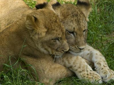 African Lion Cubs, Panthera Leo, Socializing in their Enclosure by Paul Sutherland