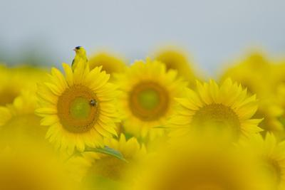 An American Goldfinch, Carduelis Tristis, on a Sunflower in a Field of Sunflowers by Paul Sutherland