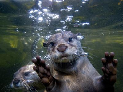 An Asian or Oriental Small-Clawed Otter, Aonyx Cinerea, Swimming