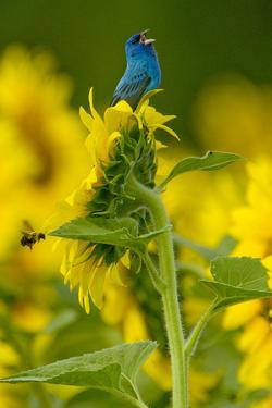 An Indigo Bunting, Passerina Cyanea, on a Sunflower Singing to Claim its Territory by Paul Sutherland