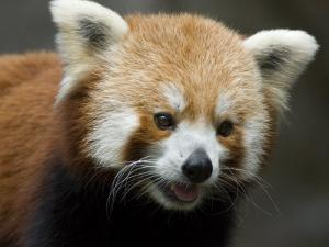 Captive Endangered Red Panda by Paul Sutherland