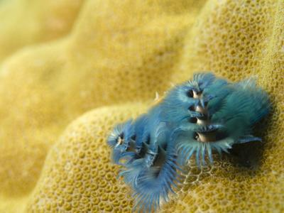 Christmas Tree Worms, Spirobranchus Giganteus, Living in Coral by Paul Sutherland