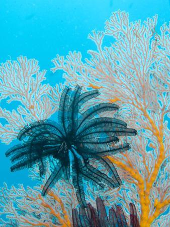 Featherstar Feeding in the Current on a Gorgonian Coral by Paul Sutherland