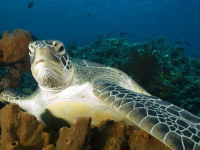 Green Turtle, Chelonia Mydas, at Rest in the Coral, Gili Islands by Paul Sutherland