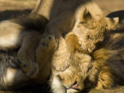 Lion and Cub, Panthera Leo, Socializing in their Enclosure by Paul Sutherland
