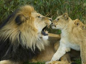 Male African Lion and Cub, Panthera Leo, Socializing in Zoo Enclosure by Paul Sutherland