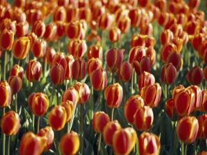 Mass Planting of Tulips in Bloom in the Spring by Paul Sutherland