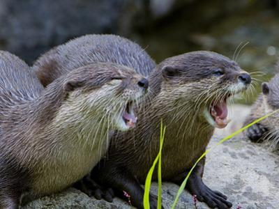 Oriental or Asian Small-Clawed Otters, Aonyx Cinerea, Yawning by Paul Sutherland