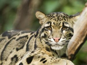 Portrait of a Clouded Leopard, Neofelis Nebulosa, a Vulnerable Species by Paul Sutherland