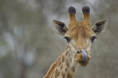 Portrait of a Giraffe, Giraffa Camelopardalis, Licking its Lips after a Drink by Paul Sutherland