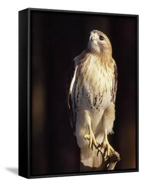 Portrait of a Rehabilitated Captive Red-Tail Hawk by Paul Sutherland