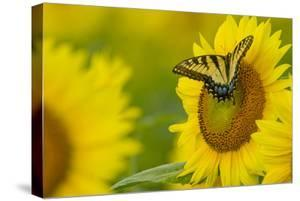 Portrait of an Eastern Tiger Swallowtail, Papilio Glaucus, on a Sunflower by Paul Sutherland
