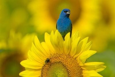 Portrait of an Indigo Bunting, Passerina Cyanea, on a Sunflower by Paul Sutherland