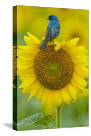 Portrait of an Indigo Bunting, Passerina Cyanea, on a Sunflower by Paul Sutherland