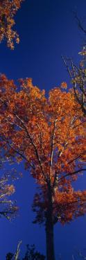 Trees in Autumn Foliage Against a Clear Blue Sky by Paul Sutherland