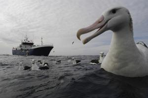Wandering Albatrosses in the Vicinity of a Toothfish Longliner by Paul Sutherland