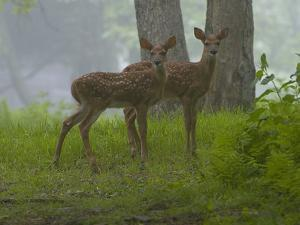 White-Tailed Deer Fawns, Odocoileus Virginianus, in a Misty Forest by Paul Sutherland