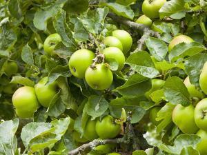 James Grieve Apples, England by Paul Thompson