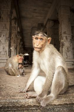 Bonnet Macaque (Macaca Radiata) Adults and Baby in Temple, Hampi, Karnataka, India, July by Paul Williams
