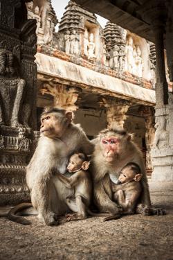 Bonnet Macaque (Macaca Radiata) Females Suckling Babies in Temple, Hampi, Karnataka, India, July by Paul Williams