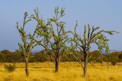 Budgerigars (Melopsittacus undulatus) flocking on tree, Northern Territory, Australia