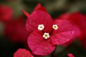 Extreme Close-Up On A Bougainvillea by PaulCowan