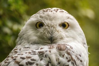 Portrait  White Snow Owl - Open Eyes