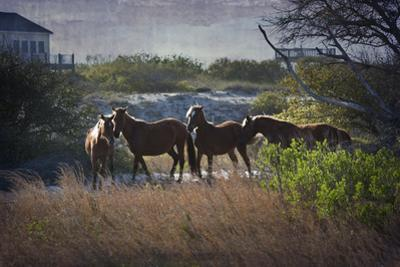 A Family of Wild Horses Graze among the Homes in the Outer Banks in North Carolina by pdb1