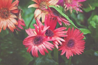 Bright Gerbera Daisies are given a Vintage Overlay Texture for a Fine Art Feel by pdb1
